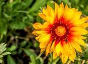 himachal flowers