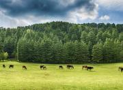 Cattle in a Green Field